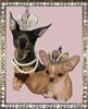 Чихуахуа щенки, продажа, Москва - СЗАО - последнее сообщение от lifanova