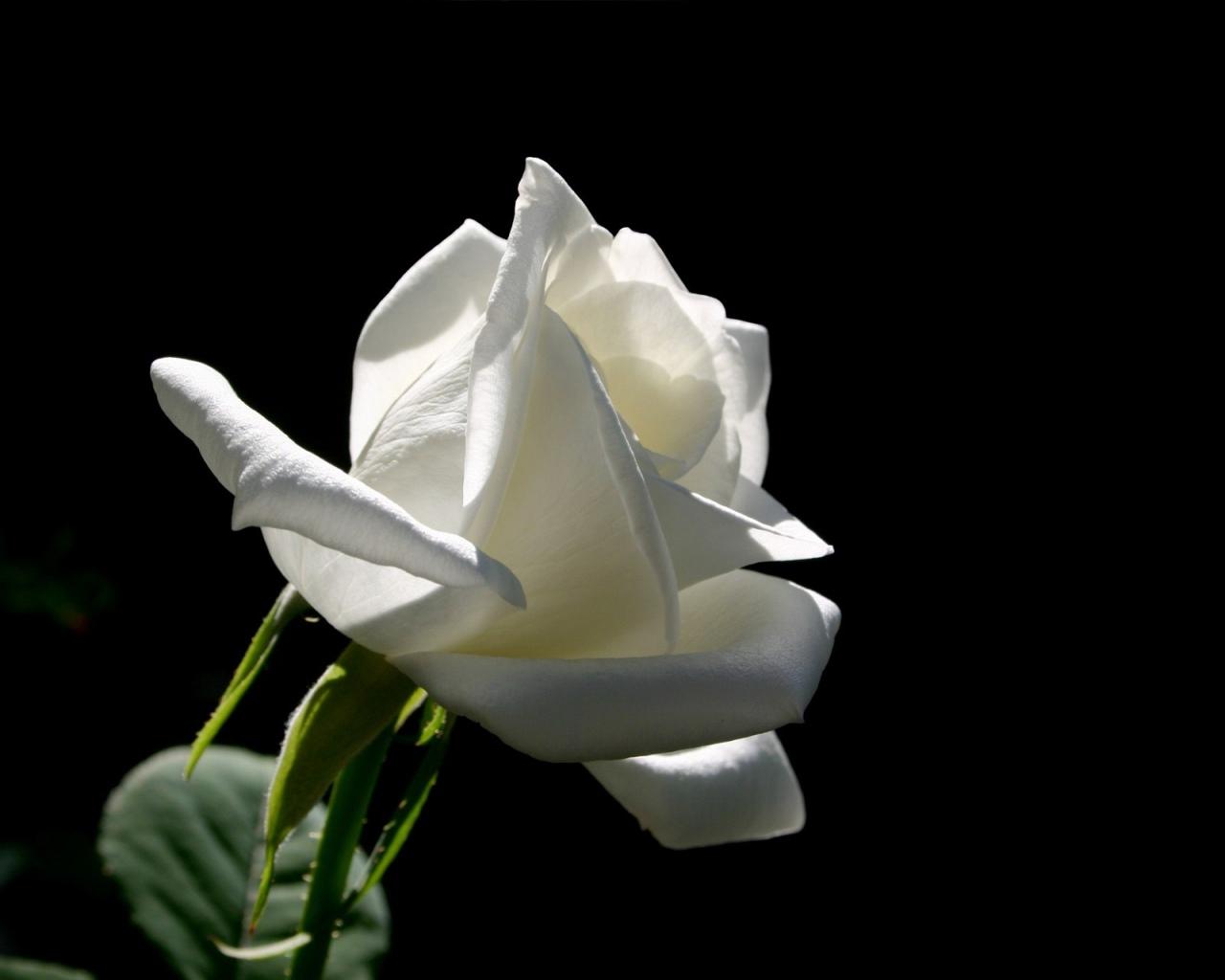 Белая роза на черном.jpg